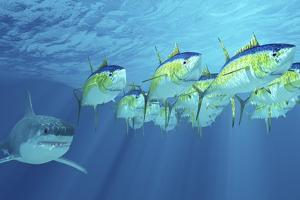 A School of Yellowfin Tuna Is Followed by a Great White Shark by Stocktrek Images