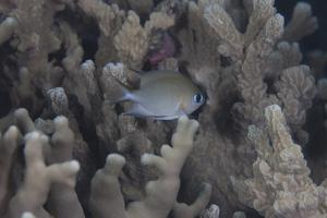 A Small Ambon Chromis Swimming Amongst Coral in Fiji by Stocktrek Images