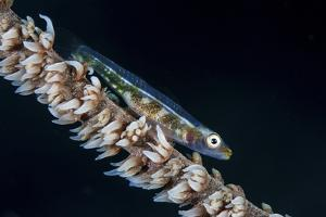A Small Whip Coral Goby on its Host Coral by Stocktrek Images
