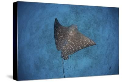 A Spotted Eagle Ray Swims over the Seafloor Near Cocos Island, Costa Rica