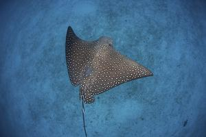 A Spotted Eagle Ray Swims over the Seafloor Near Cocos Island, Costa Rica by Stocktrek Images