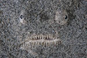 A Stargazer Fish Camouflages Itself in the Sand by Stocktrek Images