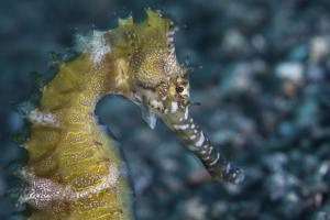 A Thorny Seahorse on the Seafloor of Lembeh Strait by Stocktrek Images