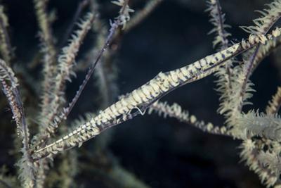A Tozeuma Shrimp Blends into its Reef Surroundings