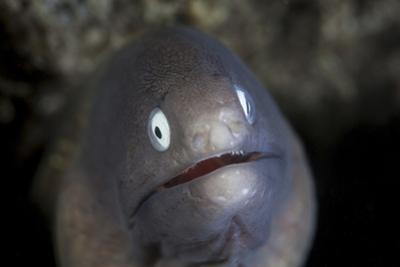 A White-Eyed Moray Eel Looks Out from a Reef Crevice by Stocktrek Images