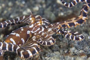 A Wonderpus Octopus Crawls across a Sand Slope by Stocktrek Images