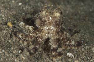 A Young Day Octopus on Black Volcanic Sand by Stocktrek Images