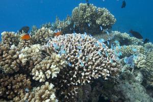 Acropora Nusata Stony Corals in Beqa Lagoon, Fiji by Stocktrek Images