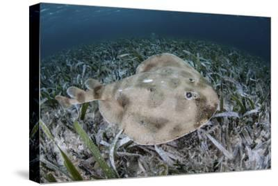 An Electric Ray on the Seafloor of Turneffe Atoll Off the Coast of Belize
