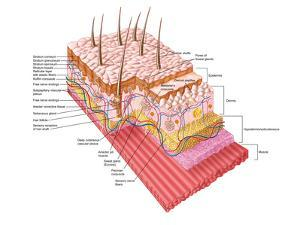 Anatomy of the Human Skin by Stocktrek Images