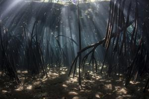 Beams of Sunlight Filter Among the Prop Roots of a Mangrove Forest by Stocktrek Images