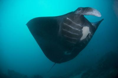Black-Bellied Manta Ray Taking Off, Palau, Micronesia by Stocktrek Images