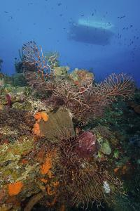 Black Coral on Reef. Turks and Caicos by Stocktrek Images