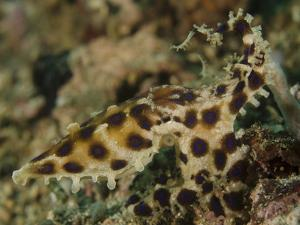 Blue-Ringed Octopus, Lembeh Strait, Indonesia by Stocktrek Images
