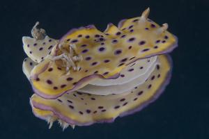 Chromodoris Kuniei Nudibranch, Beqa Lagoon, Fiji by Stocktrek Images