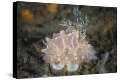Close-Up of a Beautiful Halgerda Batangas Nudibranch