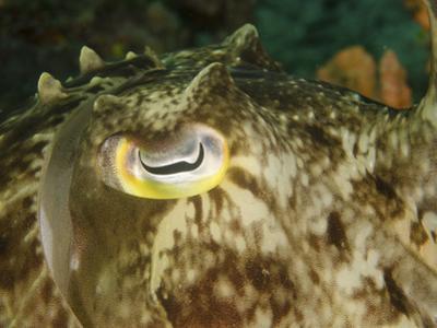 Close-Up of a Cuttlefish Eye, Manado, Indonesia