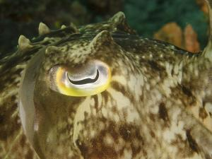 Close-Up of a Cuttlefish Eye, Manado, Indonesia by Stocktrek Images