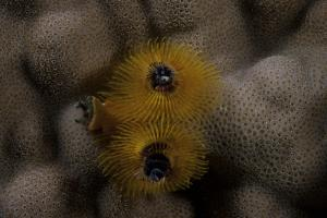 Close-Up of a Yellow Christmas Tree Worm by Stocktrek Images