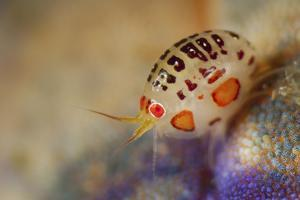 Close-Up View of a Ladybug Amphipod, Cyproidea Species by Stocktrek Images