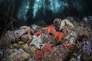 Colorful Starfish Cover the Bottom of a Giant Kelp Forest by Stocktrek Images