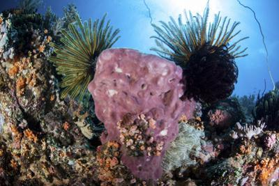 Crinoids Cling to a Large Sponge on a Healthy Coral Reef by Stocktrek Images