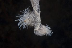 Cup Coral Polyps Hang under a Ledge on a Reef in Fiji by Stocktrek Images