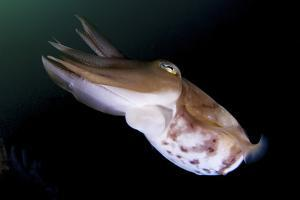 Full Body View of a Broadclub Cuttlefish Amongst a Reef by Stocktrek Images