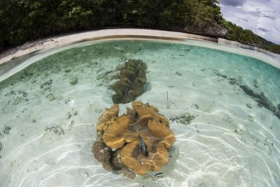 Giant Clams Grow in Shallow Water in Raja Ampat, Indonesia