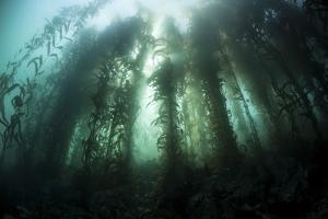 Giant Kelp (Macrocystis Pyrifera) Grows Off the Coast of California by Stocktrek Images