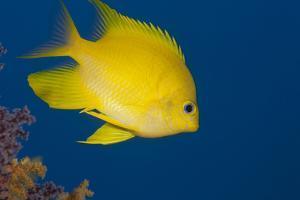 Golden Damselfish, Side View, Fiji by Stocktrek Images
