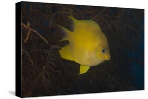 Golden Damselfish Swimming in Soft Coral, Fiji by Stocktrek Images