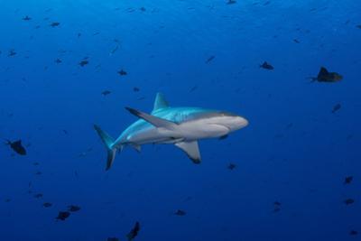 Grey Reef Shark Patrolling in Blue Water, Palau, Micronesia by Stocktrek Images