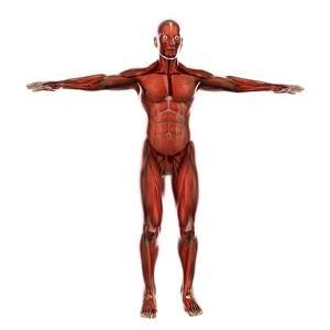 Human Muscular System by Stocktrek Images