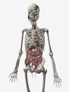 Human Skeletal System with Organs of the Digestive System Visible by Stocktrek Images