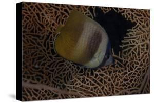 Klein's Butterflyfish Swmming in Fiji by Stocktrek Images