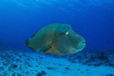 Large Napoleon Wrasse in Blue Water, Palau, Micronesia by Stocktrek Images