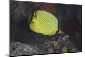 Latticed Buterflyfish, Fiji by Stocktrek Images