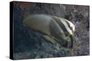 Longfin Spadefish, Beqa Lagoon, Fiji by Stocktrek Images
