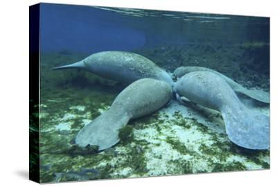 Manatees Congregate to Feed on Algae at Fanning Springs State Park, Florida