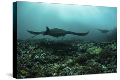 Manta Rays Swims Through a Current-Swept Channel in Indonesia