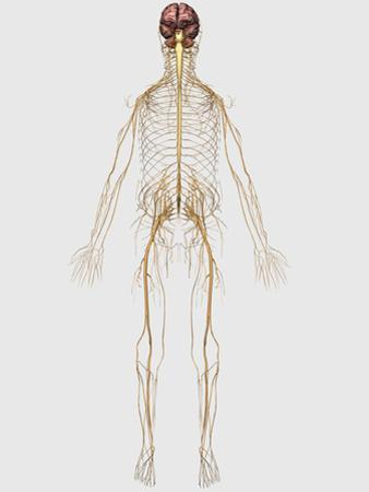 Medical Illustration of Peripheral Nervous System with Brain by Stocktrek Images