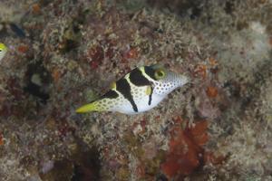 Mimic Filefish Beqa Lagoon, Fiji by Stocktrek Images
