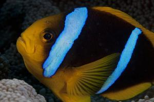 Orange-Fin Anenomefish in its Host Anenome, Fiji by Stocktrek Images