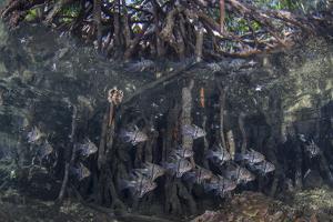 Orbiculate Cardinalfish Swimming Underneath a Mangrove Tree by Stocktrek Images