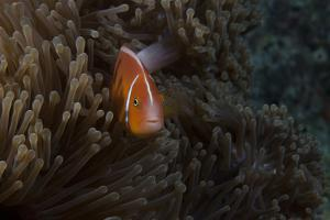 Pink Anemonefish in its Host Anenome, Fiji by Stocktrek Images