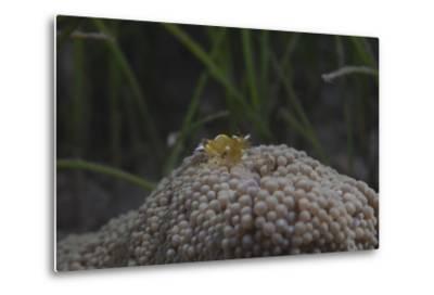 Popcorn Shrmp on an Anenome on a Fijian Reef