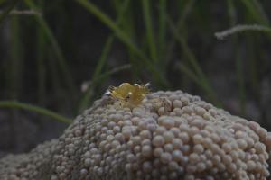 Popcorn Shrmp on an Anenome on a Fijian Reef by Stocktrek Images