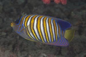 Regal Angelfish Swimming in Waters Off of Fiji by Stocktrek Images