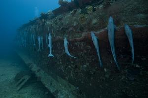 Remora's Suck the The Hull of a Shipwreck in Fiji by Stocktrek Images